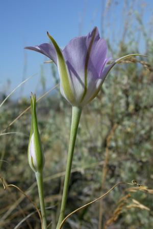 Calochortus macrocarpus