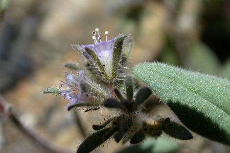Phacelia austromontana