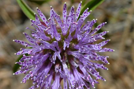 Monardella breweri ssp. lanceolata