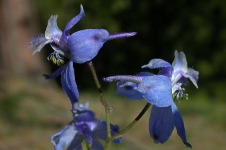 Delphinium patens ssp. montanum