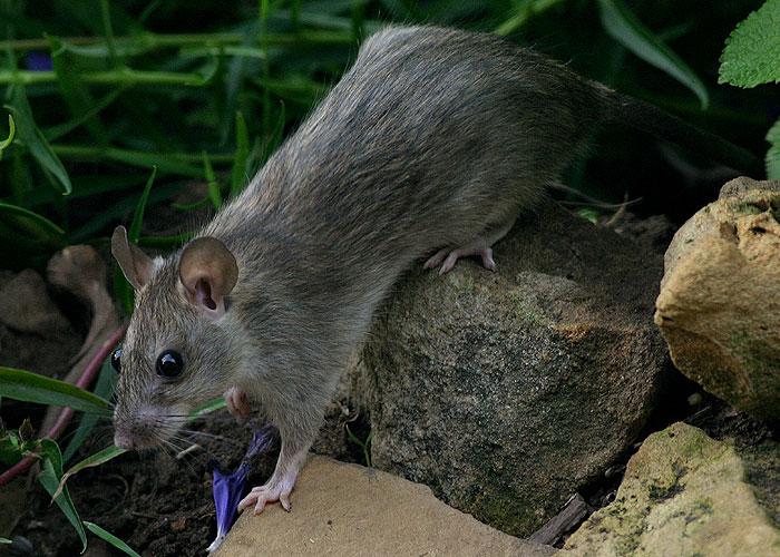 Calphotos Rattus Rattus Black Rat