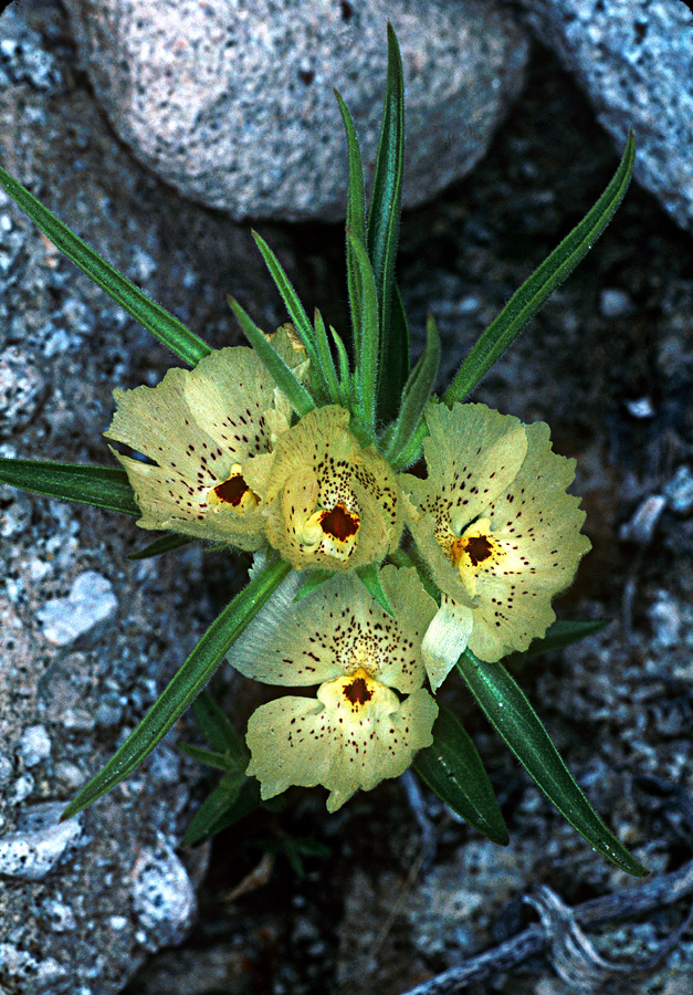 Mohavea confertiflora