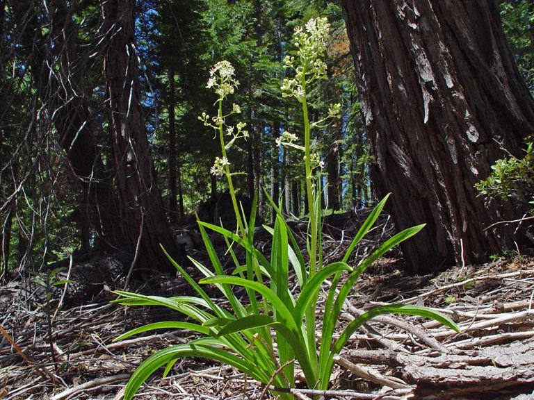 Zigadenus micranthus var. micranthus