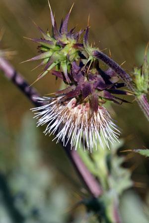 Cirsium fontinale var. campylon
