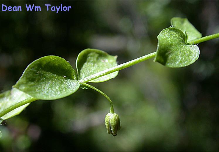 Stellaria obtusa