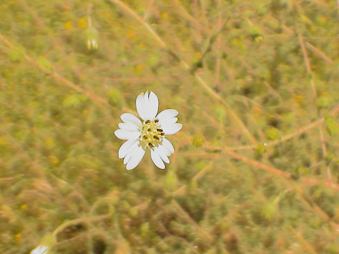 Blepharizonia plumosa ssp. plumosa