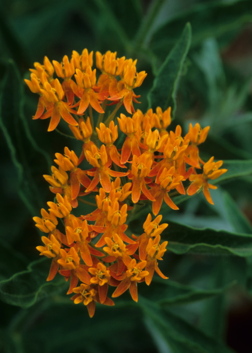 Asclepias tuberosa ssp. interior