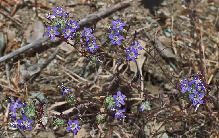 Navarretia mitracarpa