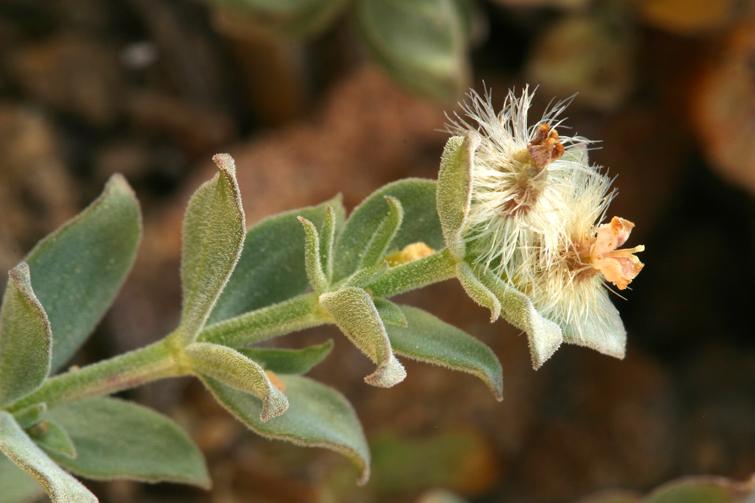 Galium grayanum var. grayanum