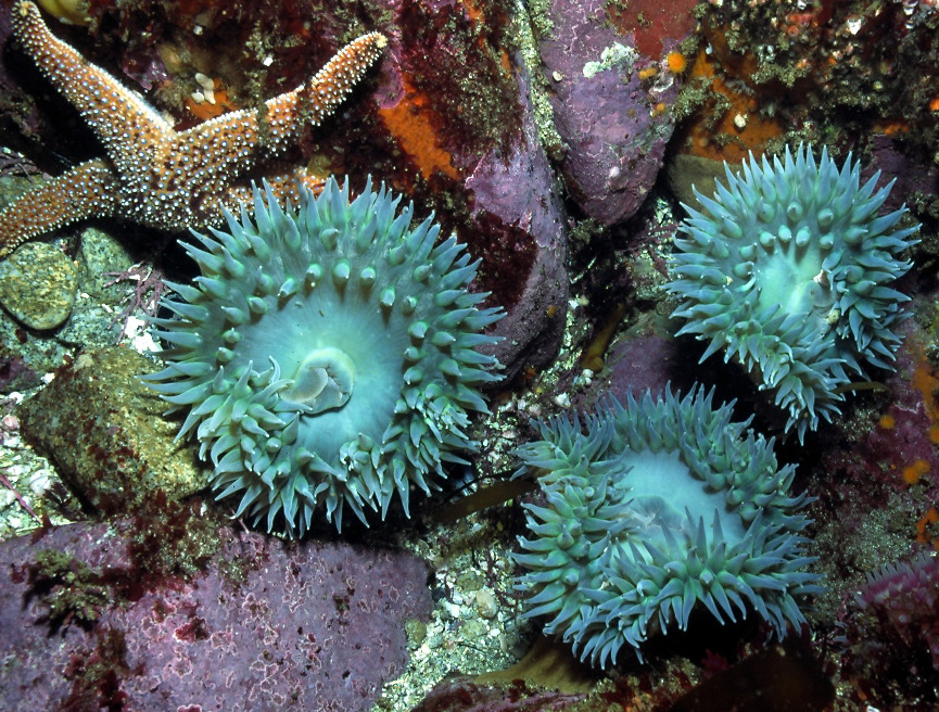 Anthopleura xanthogrammica (Giant green sea anemone ...