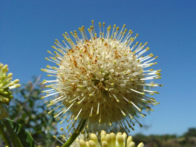 Cephalanthus occidentalis var. californicus