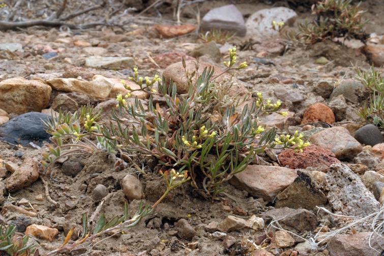 Eriogonum microthecum