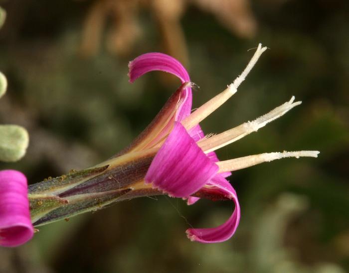 Pleiacanthus spinosus