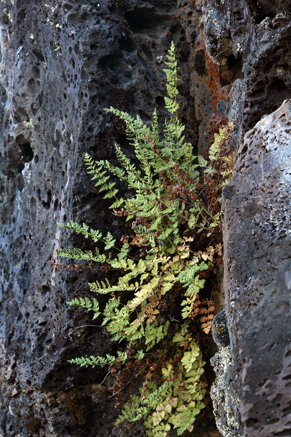 Woodsia oregana