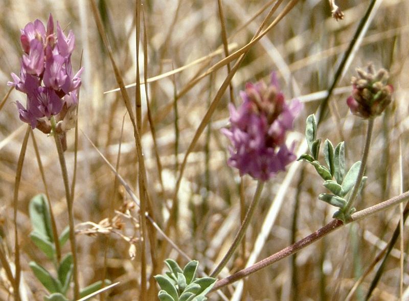 Astragalus lentiginosus var. sesquimetralis