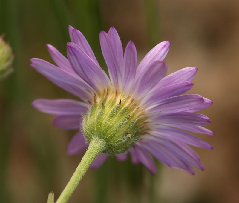 Erigeron filifolius var. filifolius