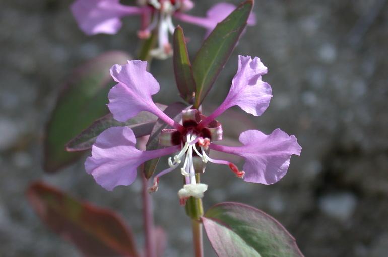 Clarkia tembloriensis ssp. calientensis
