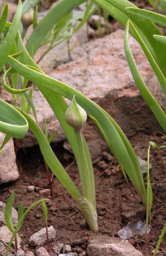 Allium platycaule