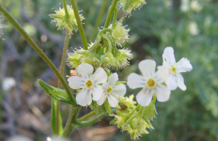 Hackelia brevicula