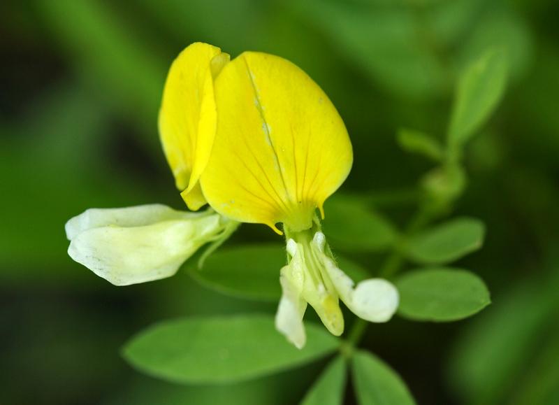 Lotus oblongifolius var. oblongifolius