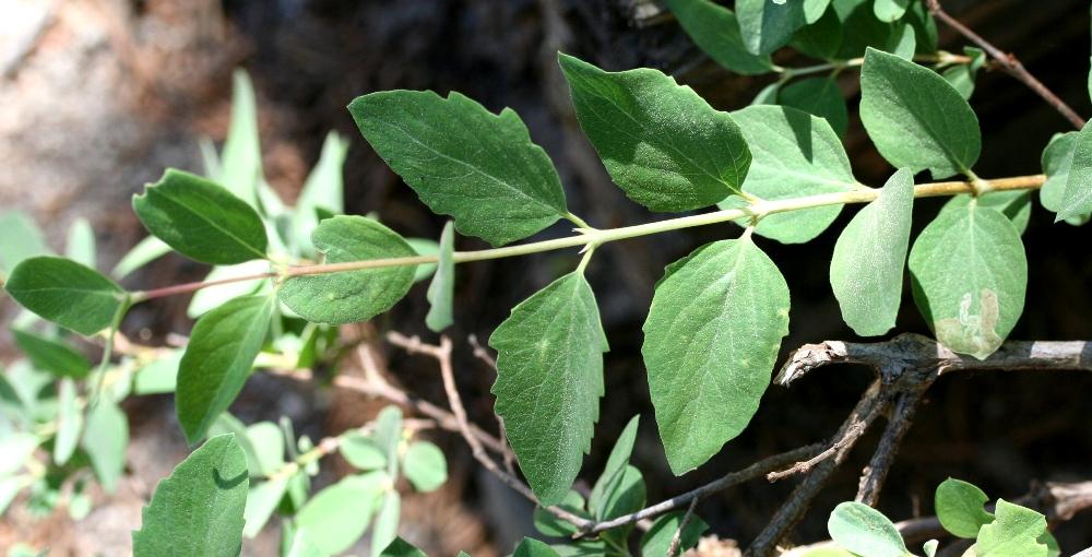 Symphoricarpos rotundifolius