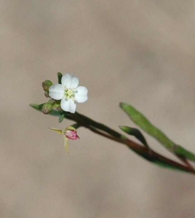 Gayophytum diffusum