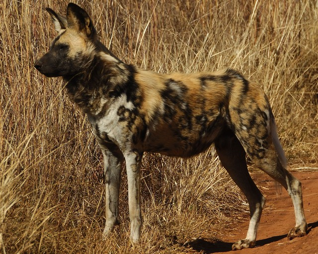 African Wild Dog Names