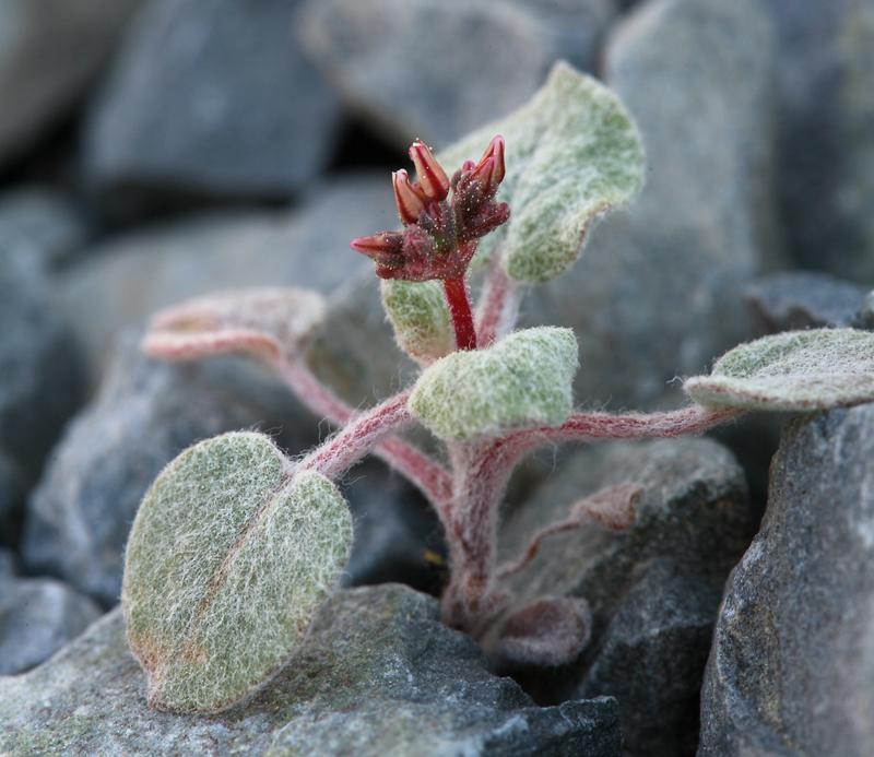 Eriogonum eremicola