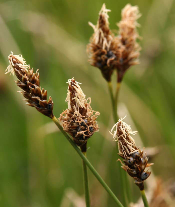 Carex filifolia