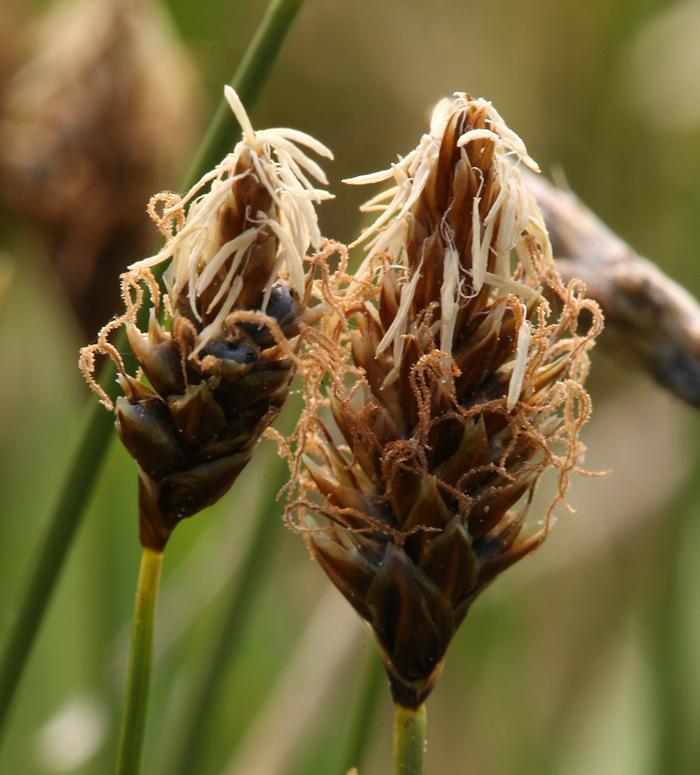 Carex filifolia var. erostrata