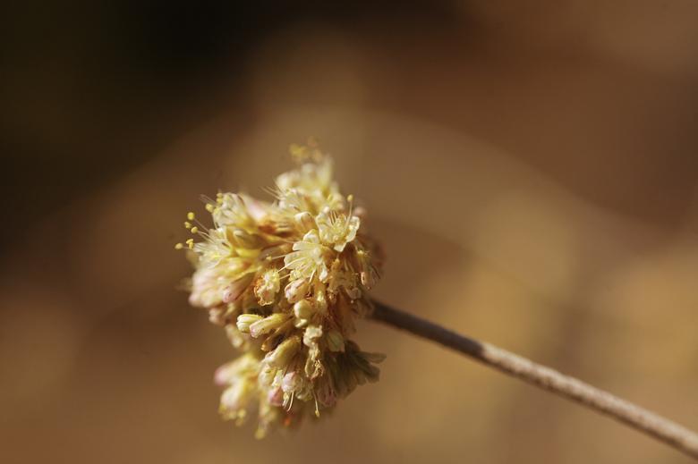 Eriogonum nudum var. regirivum