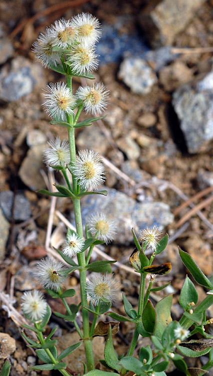 Galium glabrescens