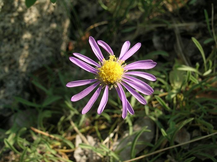 Erigeron barbellulatus