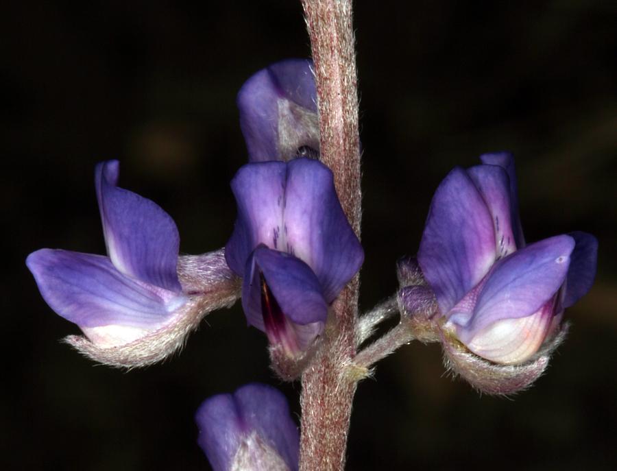 Lupinus argenteus var. montigenus