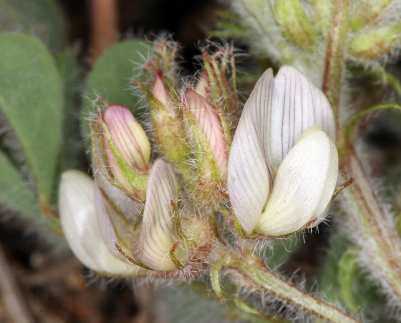 Astragalus pulsiferae var. pulsiferae