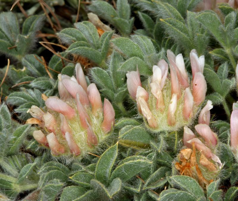 Trifolium andersonii