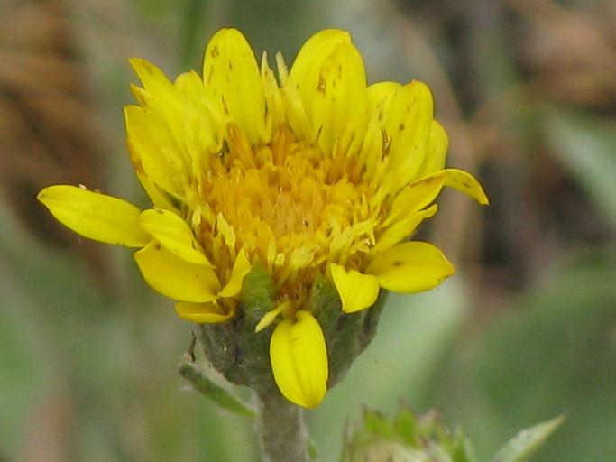 Pyrrocoma uniflora
