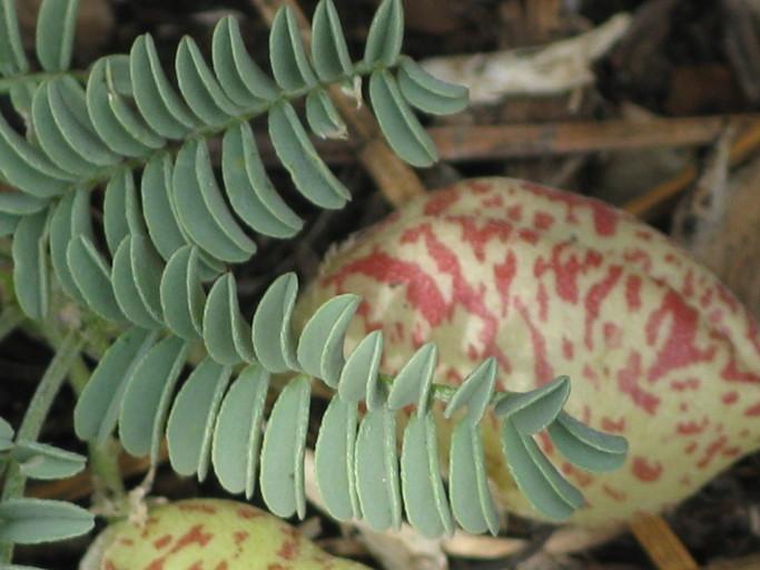 Astragalus lentiginosus var. sierrae
