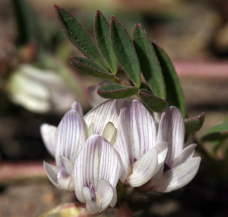 Astragalus lentiginosus var. salinus