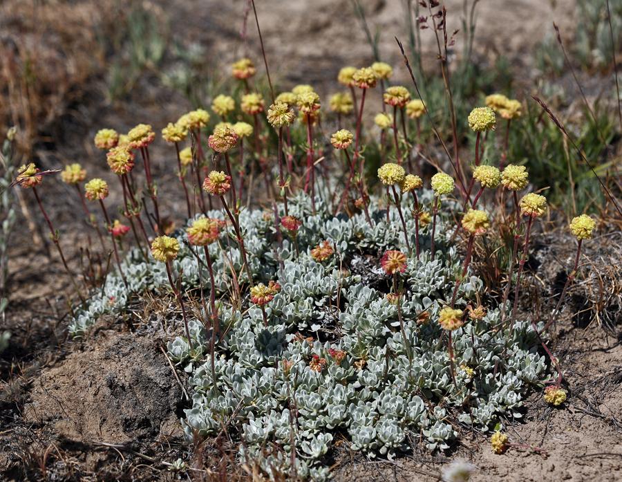 Eriogonum douglasii var. meridionale