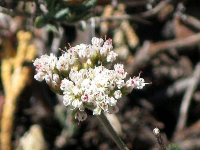 Eriogonum microthecum var. corymbosoides