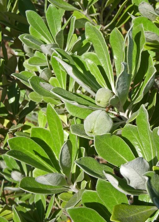Pittosporum crassifolium