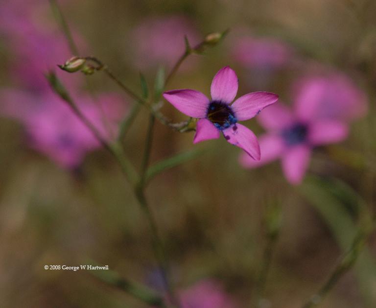 Gilia leptalea ssp. leptalea