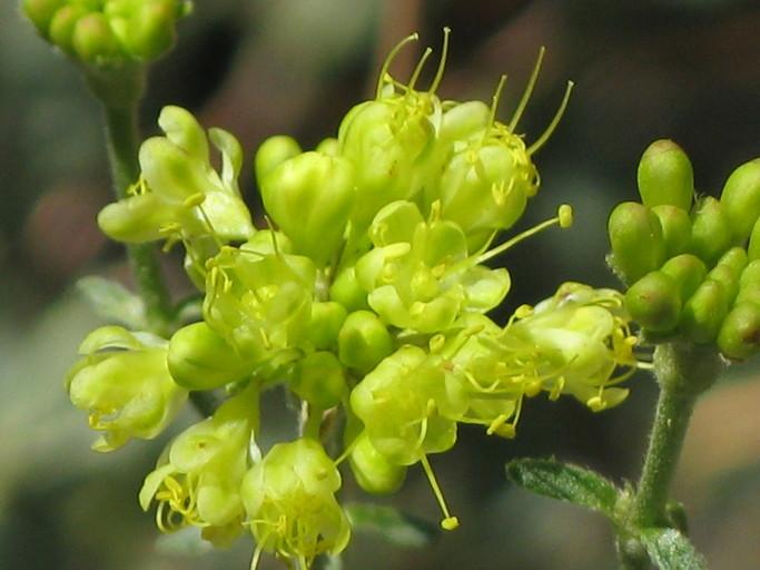 Eriogonum umbellatum var. munzii