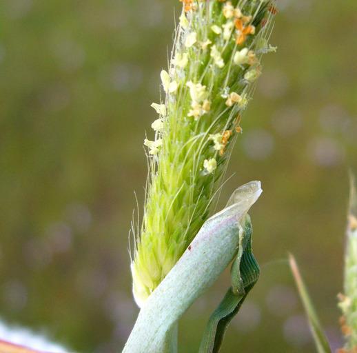 Alopecurus saccatus