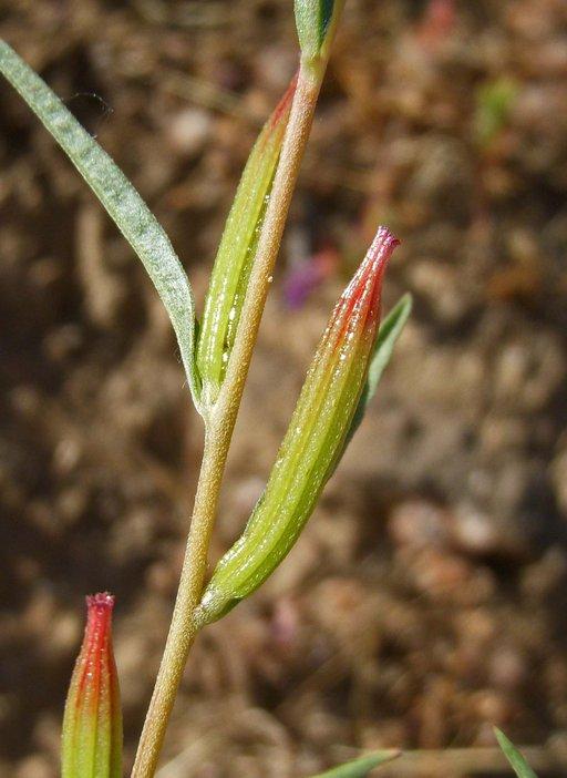 Clarkia williamsonii