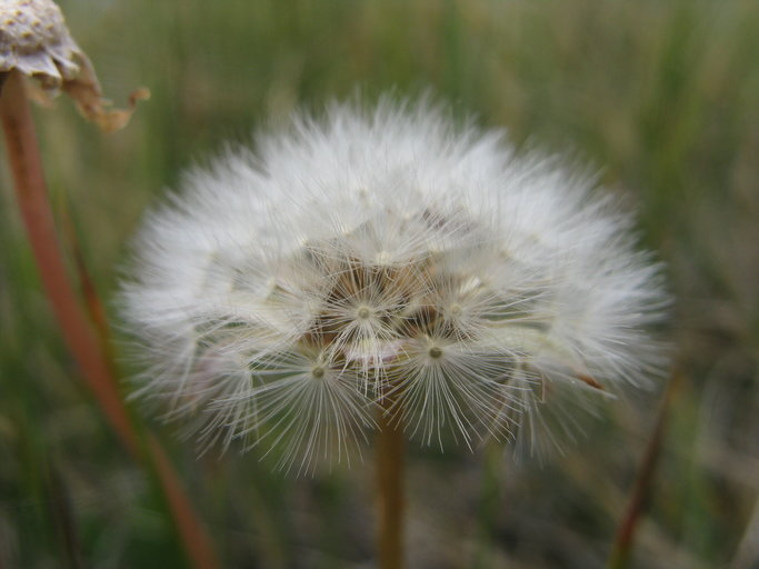 Taraxacum californicum