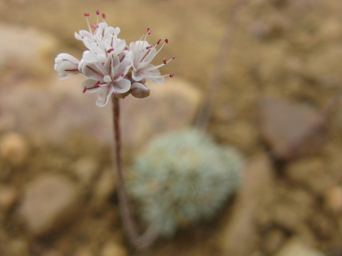 Eriogonum kennedyi var. austromontanum