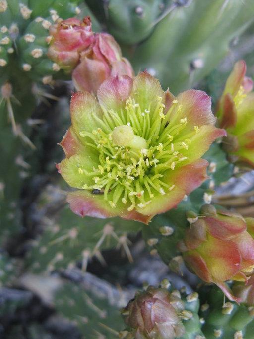 Cylindropuntia californica var. parkeri