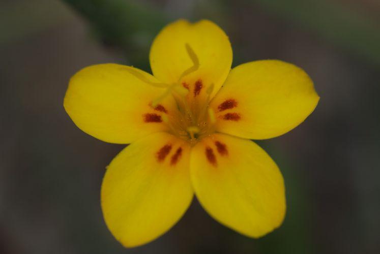 Leptosiphon croceus